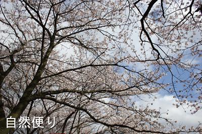 トンネル桜2