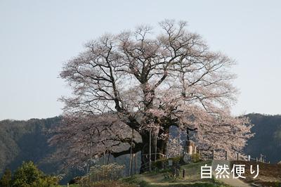 醍醐桜ライトアップ.jpg