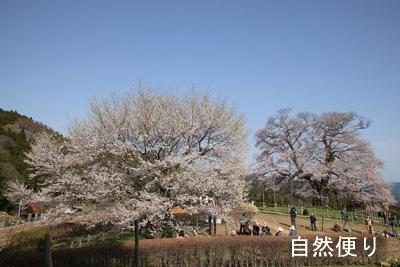 二代目醍醐桜(左) と初代醍醐桜.jpg