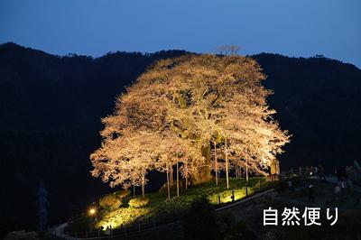 醍醐桜 ライトアップ1