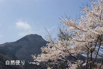 櫃ヶ山と桜