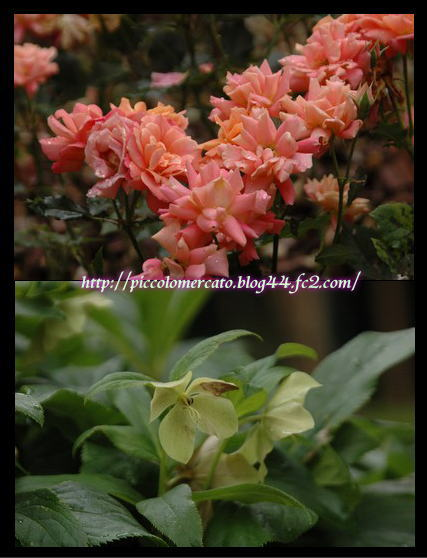 pikunikaeraflower-2.jpg