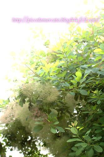 smoketree-1.jpg