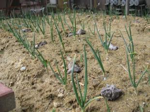 玉ねぎの収穫は6月