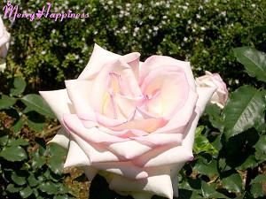 rose44330063
