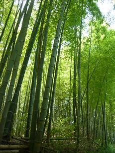 酒船石付近の竹やぶ
