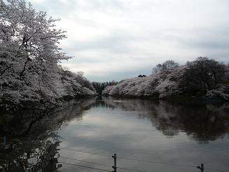 井の頭・桜1