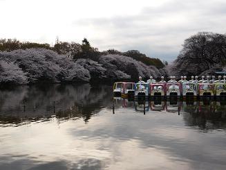 井の頭・桜3