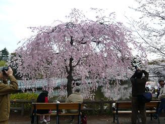井の頭・桜4