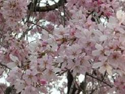 井の頭・桜5