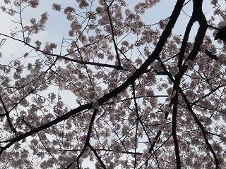 井の頭・桜6
