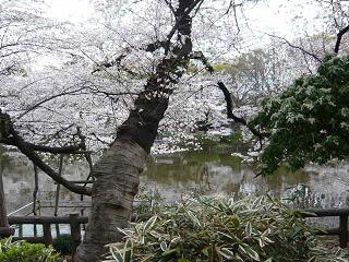 井の頭・桜7