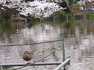 井の頭・桜8
