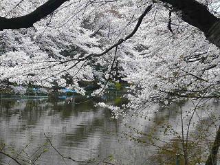 井の頭・桜9