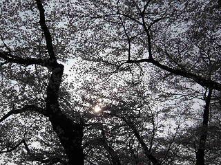 井の頭・桜10