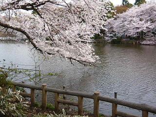 井の頭・桜11