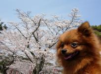 桜とりおん