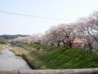 約2kmの桜並木