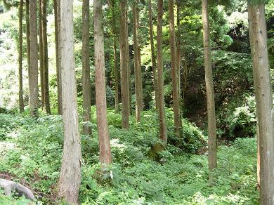 千年杉のトンネル