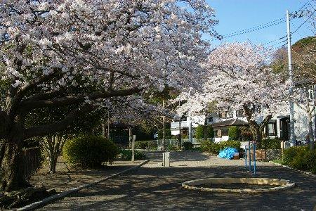 公園の桜450