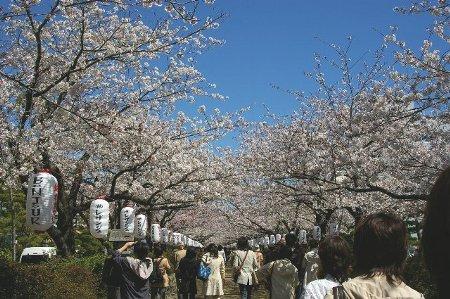 段葛の桜450