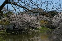 八幡の桜640