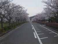 鎌倉霊園の桜