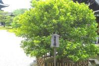 南庭の右近の橘
