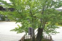 南庭の左近の桜