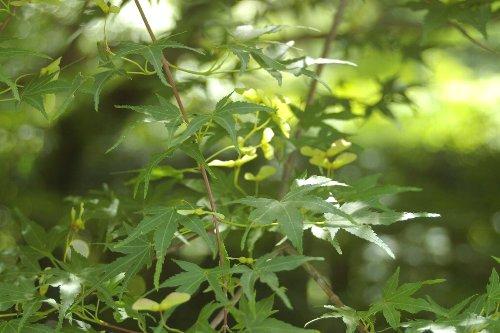 竜安寺の新緑の紅葉