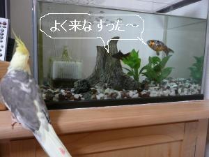 金魚と対面2