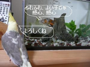 金魚と対面3