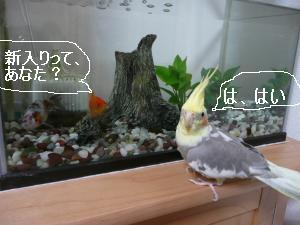 金魚と対面5