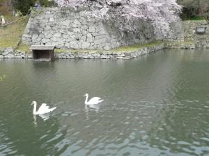 彦根城白鳥