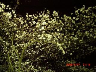 桜326 018