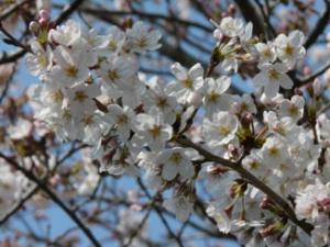 P1010660桜