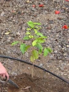コーヒー植樹