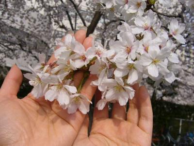F手とP手と桜