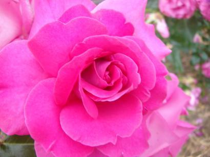 大井戸薔薇