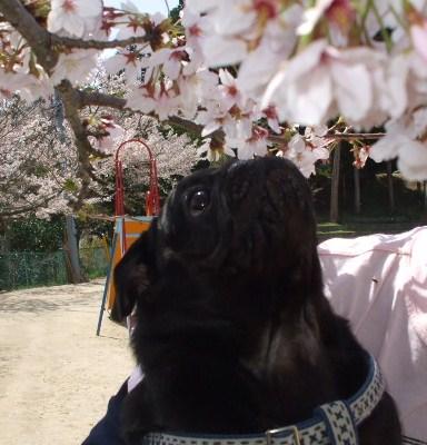 桜もくんくん