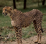s-Cheetah.jpg