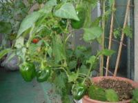 080712 野菜2