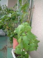 080712 野菜4