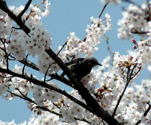 鳥と桜2005