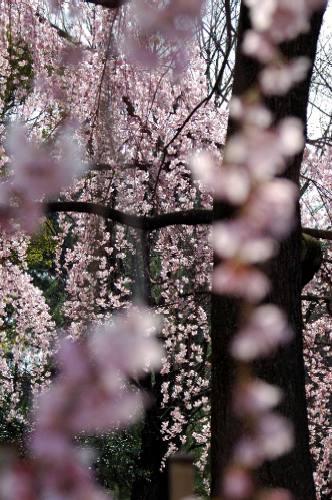 御所の桜2006