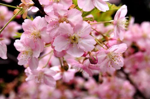 車折神社の桜2006