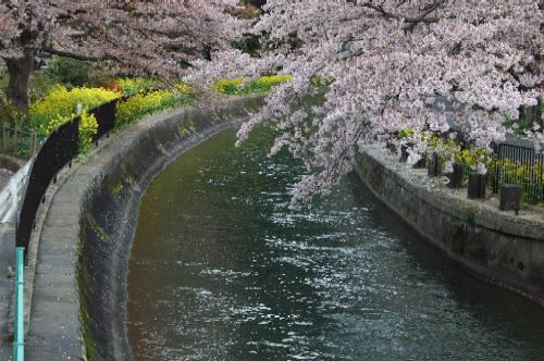 山科疏水の桜2006
