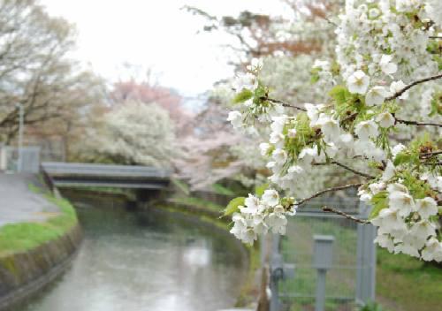 山科疏水の桜2