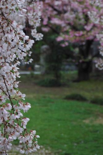 妙覚寺の桜2