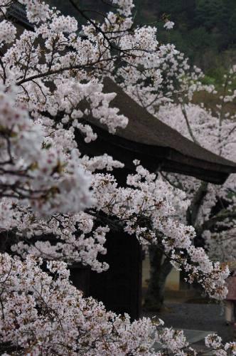 毘沙門堂の桜2006